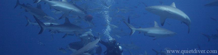 Tasty shark feeding in Australia