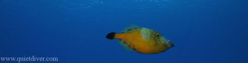 File Fish in Bonaire